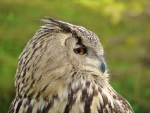 Retrato do perfil da coruja Horned Fotografia de Stock
