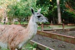 Retrato do perfil da Lama contra árvores verdes Imagens de Stock