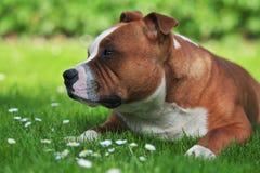 Retrato do perfil de um cão Fotografia de Stock Royalty Free