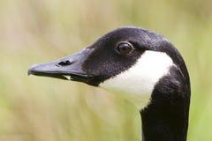 Retrato do perfil do lado do ganso de Canadá fotografia de stock