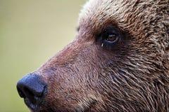 Retrato do perfil do urso de Brown Imagem de Stock
