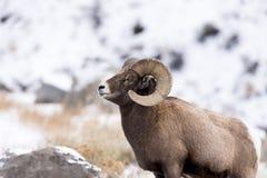 Retrato do perfil dos carneiros de Bighorn na neve Foto de Stock
