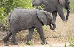 Retrato do perfil do elefante do bebê, Loxodonta Africana, andando com o elefante maior no fundo fotos de stock