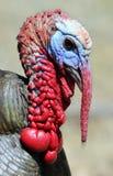 Retrato do peru selvagem foto de stock
