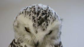 Retrato do pintainho nevado da coruja em um fundo do branco vídeos de arquivo