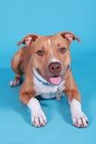 Retrato do pitbull Imagens de Stock