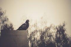Retrato do pombo cinzento Imagens de Stock Royalty Free