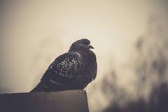 Retrato do pombo cinzento Fotografia de Stock