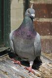 Retrato do pombo com penas coloridas fotografia de stock royalty free