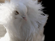 Retrato do pombo de Jacobina imagens de stock royalty free