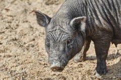 Retrato do porco preto Fotos de Stock Royalty Free