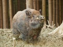 Retrato do porco selvagem de Euroasian - scrofa do Sus - na floresta do outono Foto de Stock Royalty Free