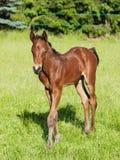 Retrato do potro do cavalo do esporte Fotografia de Stock Royalty Free