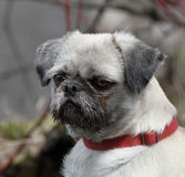 Retrato do Pug Fotografia de Stock Royalty Free