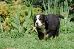 Retrato do pupp do cão de montanha de Bernese Imagem de Stock Royalty Free