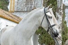 Retrato do puro-sangue do garanhão bonito PRE no freio do adestramento andalusia spain fotografia de stock royalty free