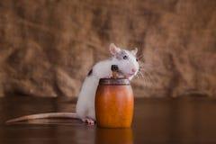 Retrato do rato doméstico Fotografia de Stock