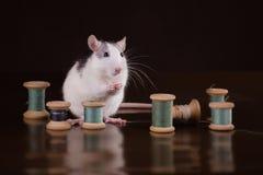Retrato do rato doméstico Fotos de Stock Royalty Free