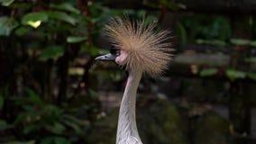 Retrato do regulorum de Grey Crowned Crane Balearica video estoque