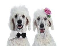 Retrato do rei branco Poodle no branco fotografia de stock