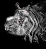 Retrato do rinoceronte indiano Imagem de Stock Royalty Free