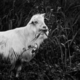 Retrato do ` s da cabra Fotos de Stock