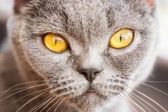 Retrato do ` s do gato em casa Foto de Stock