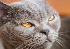 Retrato do ` s do gato em casa Fotografia de Stock