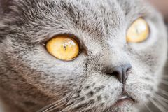 Retrato do ` s do gato em casa Fotografia de Stock Royalty Free