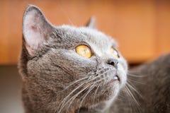Retrato do ` s do gato em casa Imagens de Stock Royalty Free