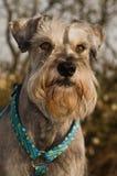 Retrato do schnauzer diminuto ao ar livre Imagem de Stock Royalty Free