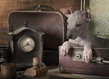Retrato do Sepia de um cachorrinho do xolo foto de stock royalty free