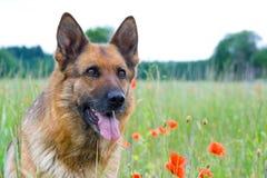 Retrato do sheepdog de Alemanha Imagem de Stock Royalty Free