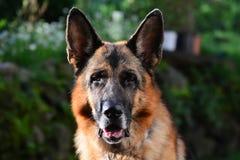 Retrato do sheppard alemão adulto Fotos de Stock