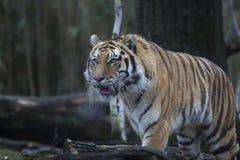 Retrato do siberian ou do tigre de Amur foto de stock
