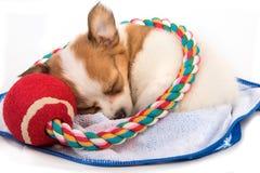 Retrato do sono do cachorrinho da chihuahua Fotografia de Stock