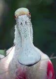 Retrato do Spoonbill róseo Fotos de Stock