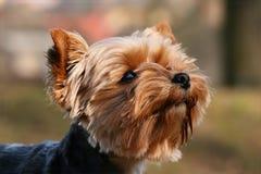 Retrato do terrier Fotos de Stock Royalty Free