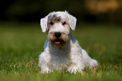 Retrato do terrier de Sealyham Imagens de Stock Royalty Free