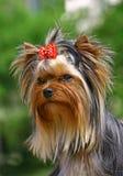 Retrato do terrier de Yorckshier Fotos de Stock Royalty Free