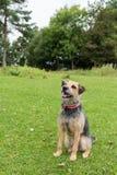 Retrato do terrier no campo Fotografia de Stock Royalty Free