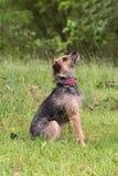 Retrato do terrier no campo Fotos de Stock Royalty Free