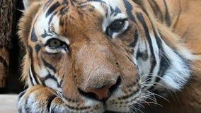 Retrato do tigre vídeos de arquivo