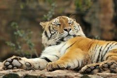 Retrato do tigre Fotos de Stock