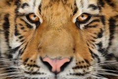 Retrato do tigre Cara agressiva do olhar fixo Olhar do perigo Fotografia de Stock