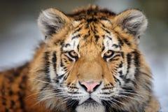 Retrato do tigre Cara agressiva do olhar fixo Olhar do perigo Imagens de Stock Royalty Free