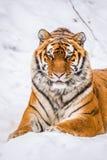Retrato do tigre de Amur Imagem de Stock