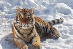retrato do tigre de bebê Imagens de Stock Royalty Free