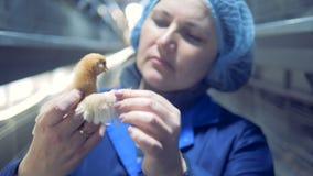 Retrato do trabalhador das aves domésticas Exploração agrícola de galinha, aves domésticas vídeos de arquivo
