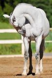 Retrato do trotador de Orlov do cavalo branco Imagens de Stock